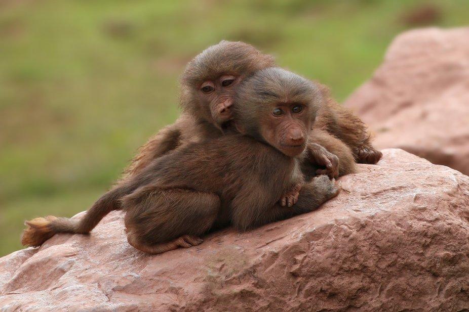 Young Hamadryas Baboons