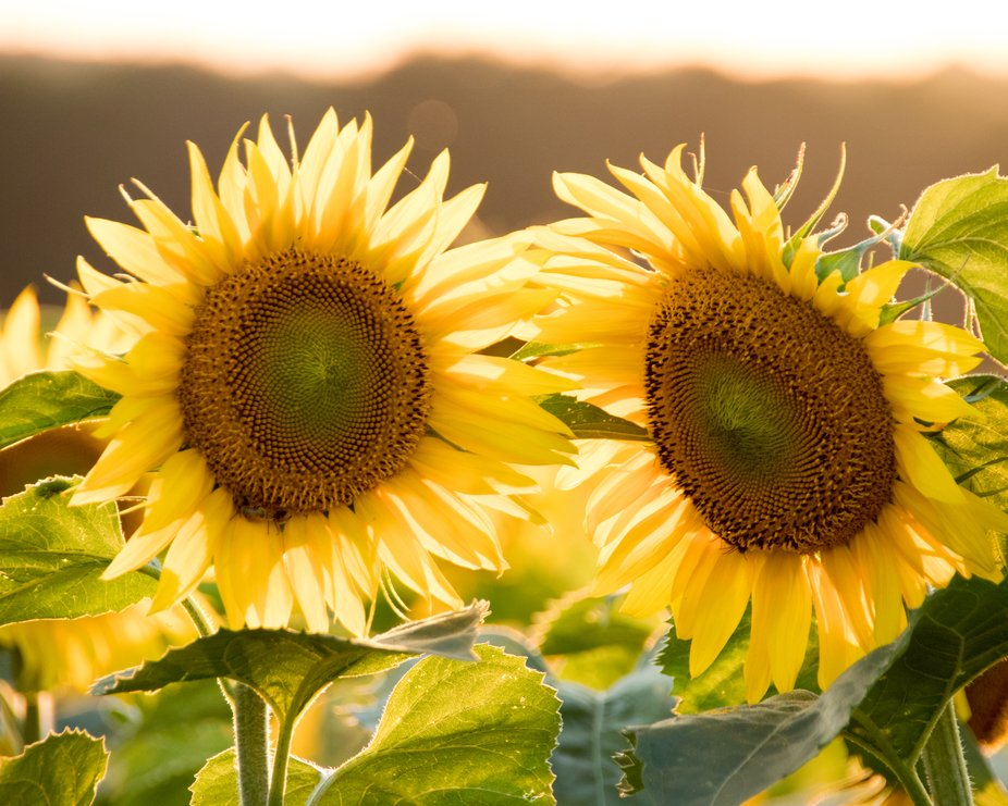 Sunflowers August 2018