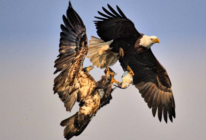 Fish Fight by F8user - Majestic Eagles Photo Contest