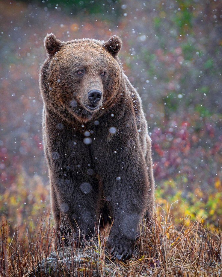 Grizzly first snow fall by anitae403 - Bears Photo Contest