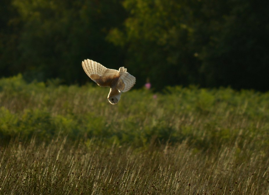 Barn owl diving down on a vole,Strines,Derbyshire