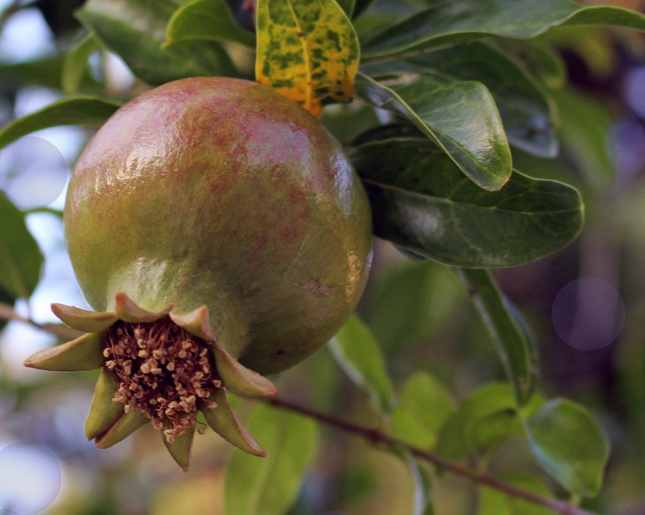 In ancient Greece, the pomegranate was sacred to Hera, the goddess of marriage. It was also conne...