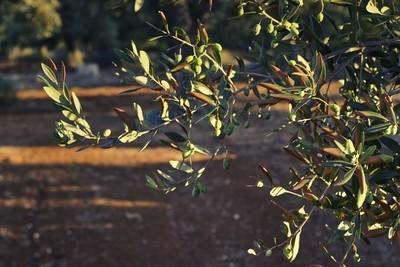 Olives sunset