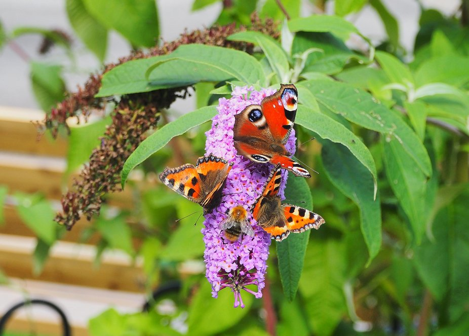 Butterflies and a bee  gather on one of the last remaining blooms on the Butterfly tree  as Autum...