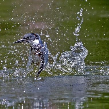 Belted kingfisher-9611 female