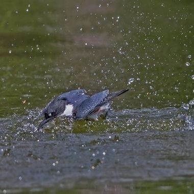 Belted kingfisher-9612 female