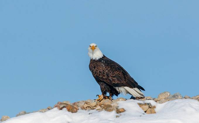 eagle by bry67 - Majestic Eagles Photo Contest