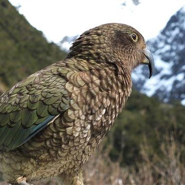 N.Z. native parrot