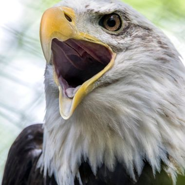 Lucky enough to catch a vocal eagle.....he just looks upset - perhaps at world events.......