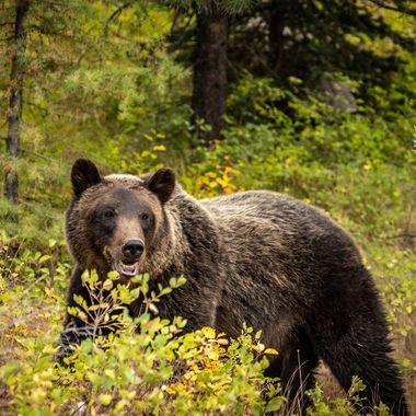 Grizzly near Bowman Lake