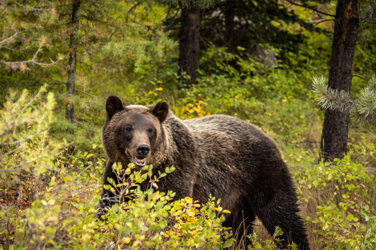 Grizzly near Bowman Lake