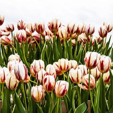 Tulip Rows