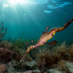 light rays and a weedy sea dragon