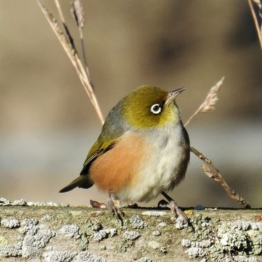 Silver eye or waxeye