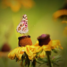 Painted lady butterfly on rudbeckia.