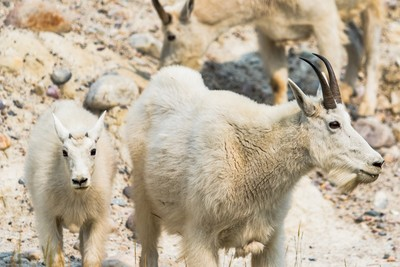 Goats of the Rockies