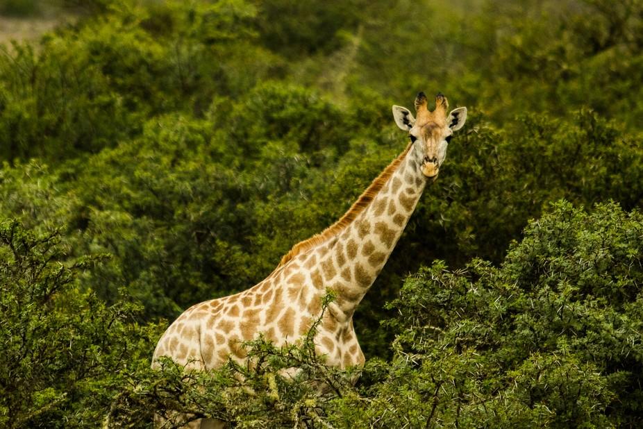 A light skinned giraffe towers above the surrounding bush.