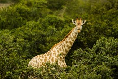 Giraffe Above the Bush