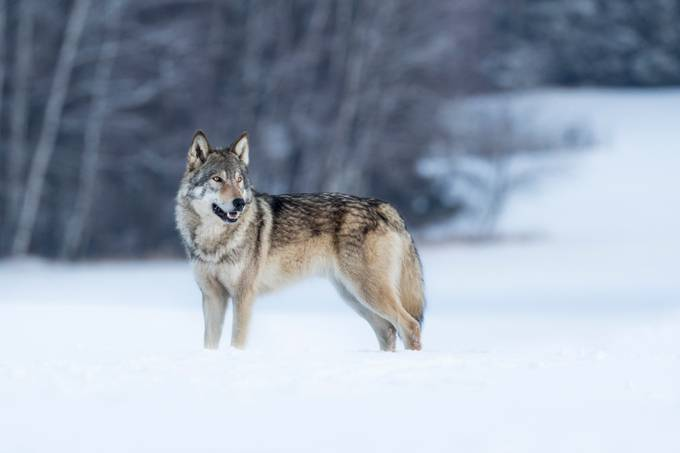 Eurasian wolf in snow by vladcech - Social Exposure Photo Contest Vol 17