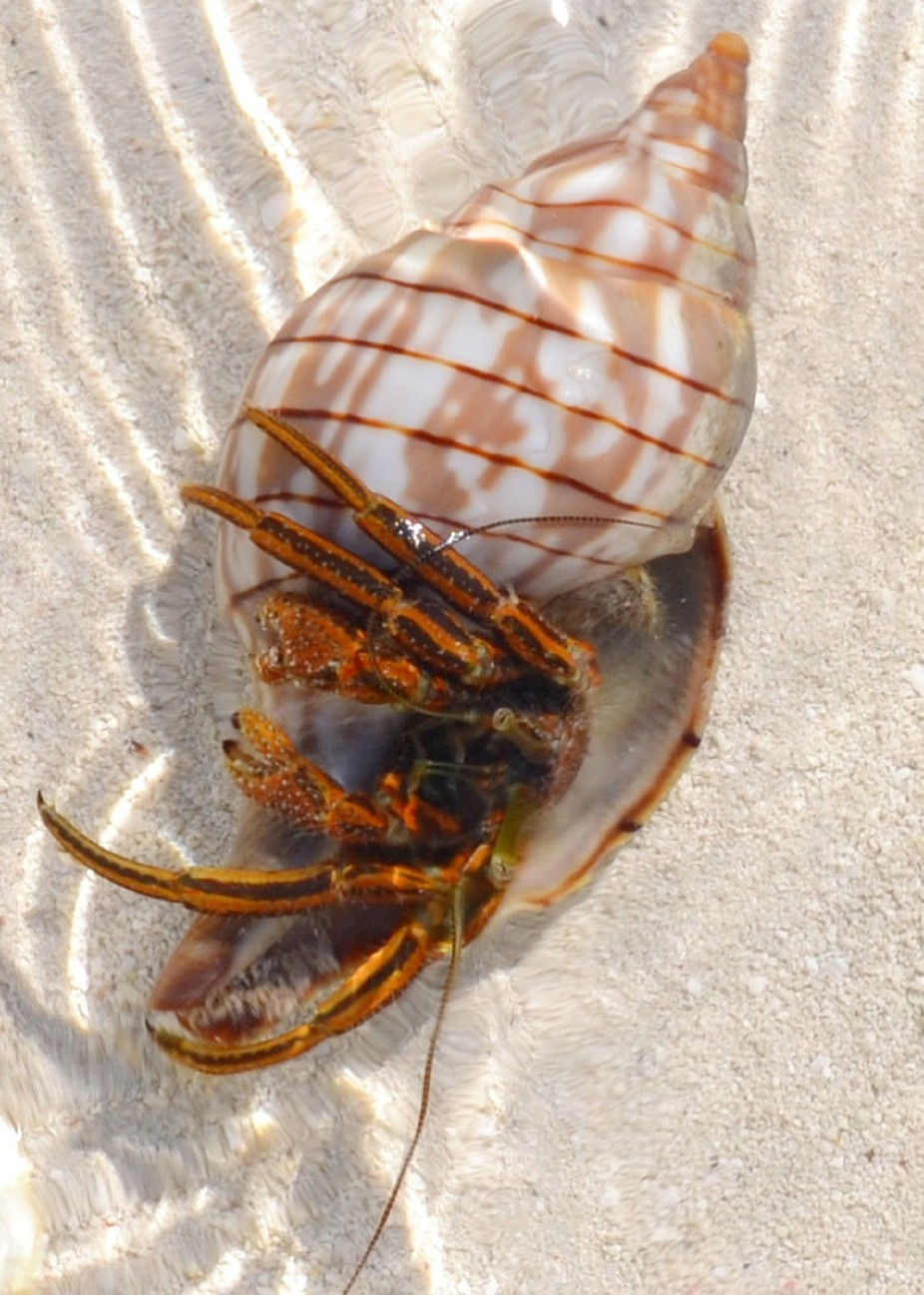 Hermit was found o.n a sandbar at Long Key State Park, Florida. Thought he was just a Shell