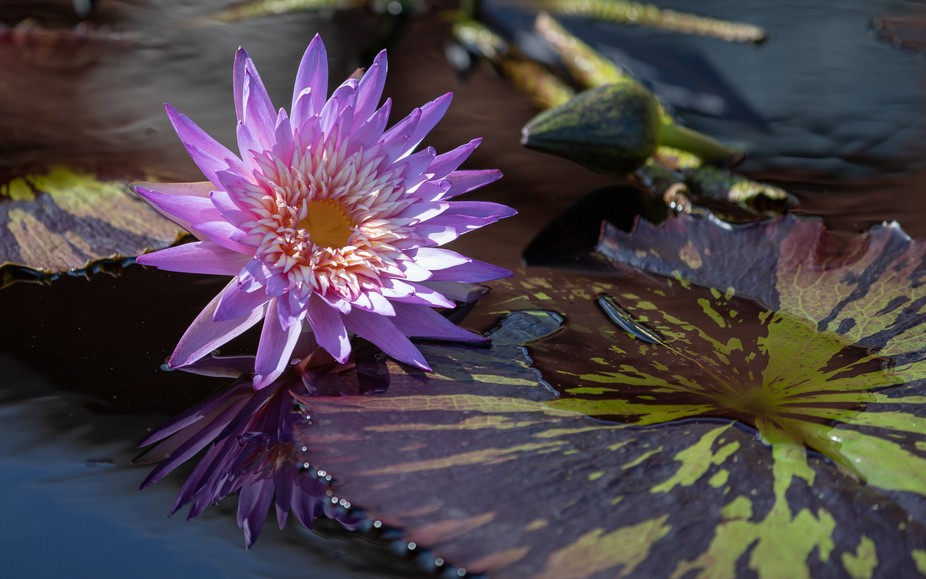 Pond Lily 090218_2