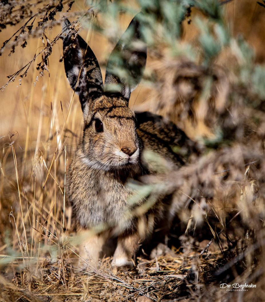 Little Cotton Tail Rabbit hiding in the bushes in Frazier Park, CA.