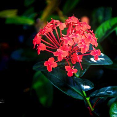 Ixora Bloom