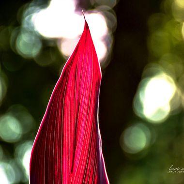 Red Sister Leaf