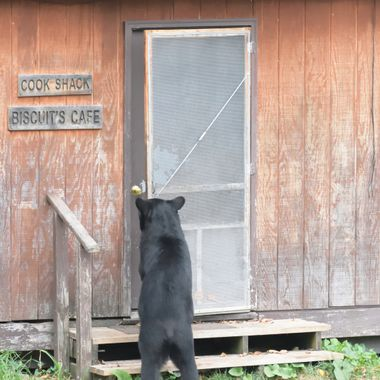 Black Bear opening screen door