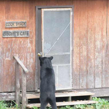 Black Bear opening screen door