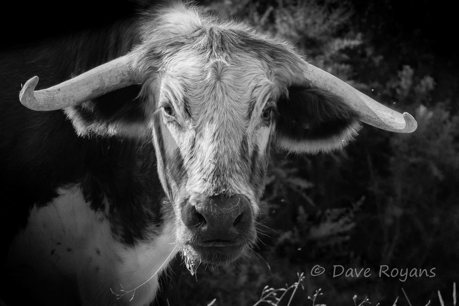 B&W English Longhorn