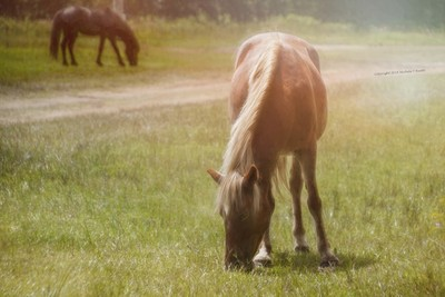 Wild horses of Corolla - photo art