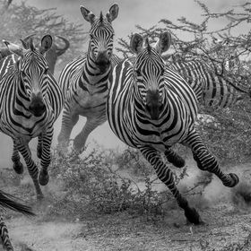 Zebras running for life