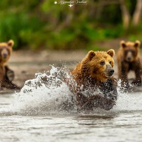 Bears jumping around for fish