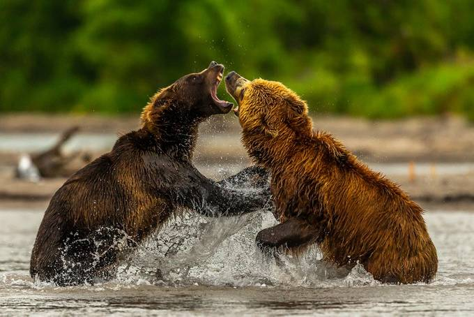 Bears Fighting by Hymakar - Bears Photo Contest