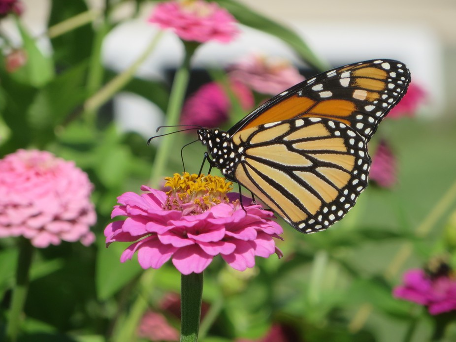 Monarch butterfly sitting on a Zinnia.