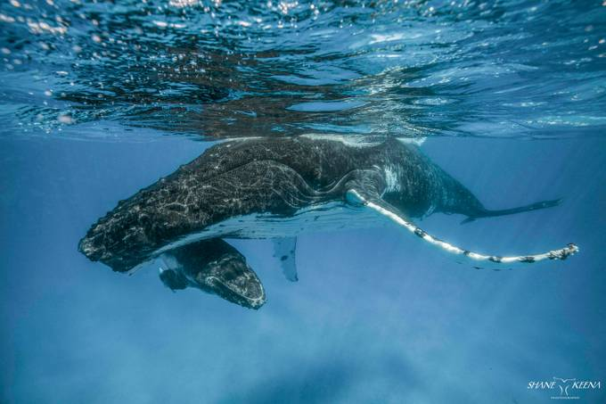 Humpback mom and calf, Ha'apai, Kingdom of Tonga by smkeena - Image Of The Month Photo Contest Vol 37