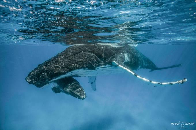 Humpback mom and calf, Ha'apai, Kingdom of Tonga by smkeena - Image Of The Month Photo Contest Vol 37