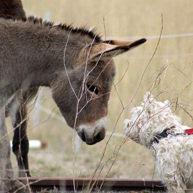 Donkey meets Boner