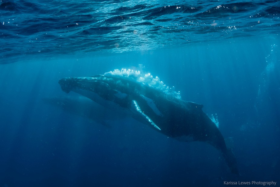 The male humpbacks blow out bubbles to ward off other potential males in a heat run chasing after...