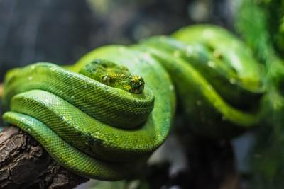 Green Snake - Python