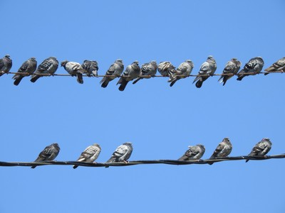 Pigeons resting on a hot summer day in Georgetown, SC.