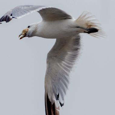 0P6A1588 Seagull