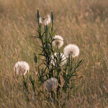 0P6A9552 Milkweed