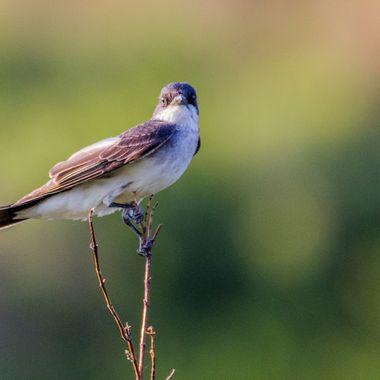 0P6A9569 King Bird