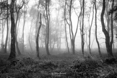 Misty Forest Bergerheide