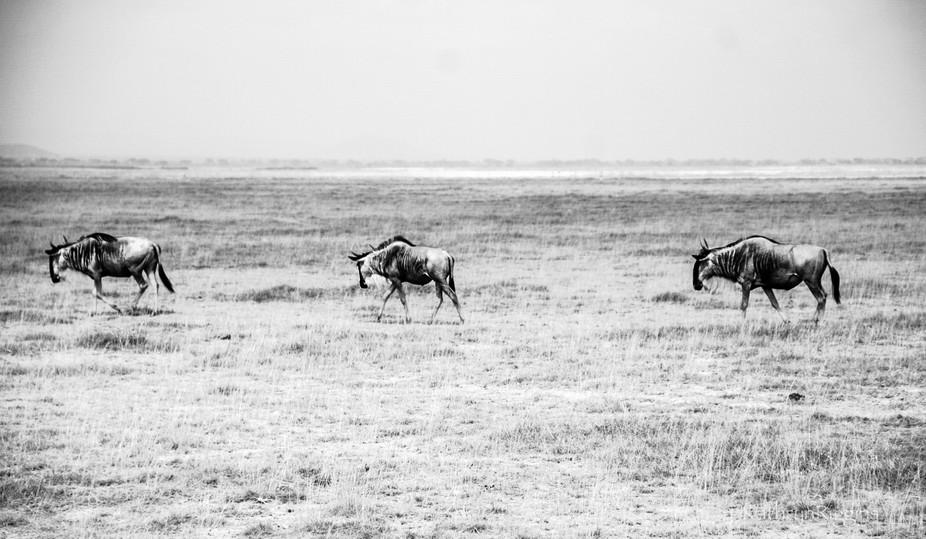 Wildebeest crossing the dry savannah in Amboseli, Kenya