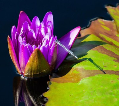 """Last of the #dragonfly shots. This one hanging out on another (what I believe to be) #lotus and a #lilypad. Also, if you're feeling generous, please go vote for a photo I have in The Weather Channel's """"It's Amazing Out There"""" photo contest by following th"""