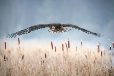 Flying eagle king