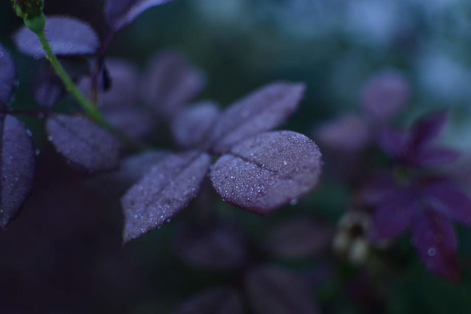 Dew drops on rose leaves